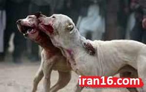 جنگ-سگ-ها