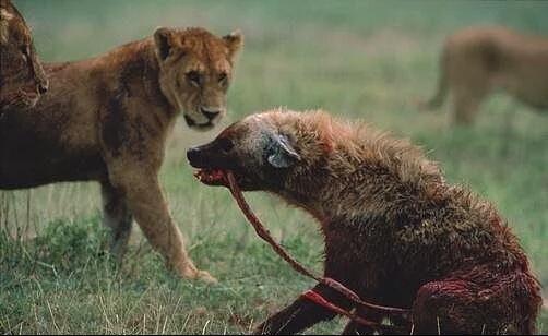 کلیپ ترسناک حیوانات وحشی ، شکار وحشیانه