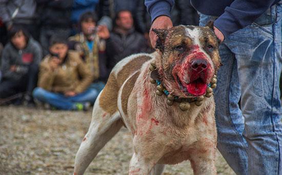 جنگ سگ وحشی دعوای سگ های وحشی