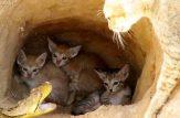 نجات بچه گربه ها از بلعیده شدن توسط مار پیتون