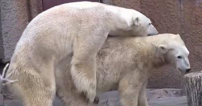 جفت گیری خرس های قطبی