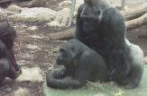 جفتگیری غیر قانونی میمون های جوان