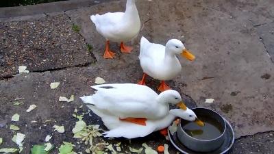 ویدیو جالب از جفت گیری اردک