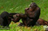جفت گیری میمون ها در جنگل
