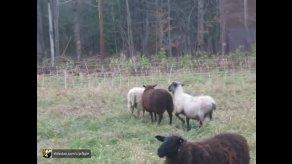 رفتار گوسفند ها هنگام جفت گیری