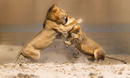 آپارات - نبرد شیرها جنگ شیرها