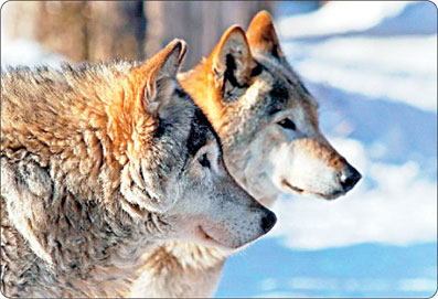 جفت گیری گرگ ها - گرگ ها بعد از جفت گیری نمیتوانند از هم جدا شوند