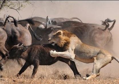 رازبقا - دیوانه وار ترین حملات حیوانات