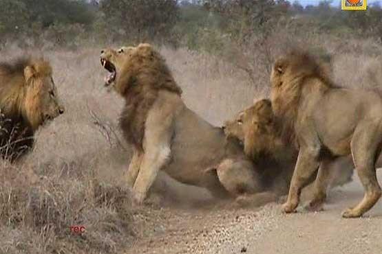 نبرد مرگبار و قبیله ای شیرها