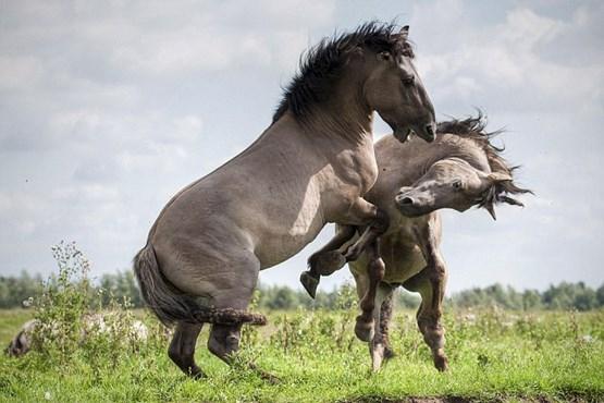 جفت گیری اسب در طبیعت وحشی