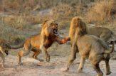 نبرد خونین حیوانات نر در فصل جفت گیری