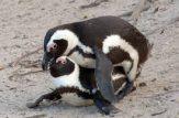 کلیپ جفت گیری پنگوئن