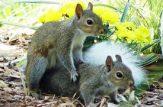 جفت گیری سنجاب ها