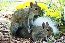 همجنسگرایی در حیوانات - جفت گیری سنجاب ها
