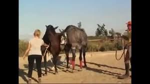 آموزش جفت گیری اسب
