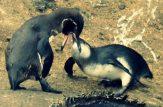 جفت گیری پنگوئن امپراطور