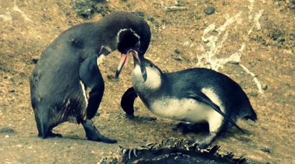 penguin-parents-cant-stop-feeding-their-large-adult-sons-1