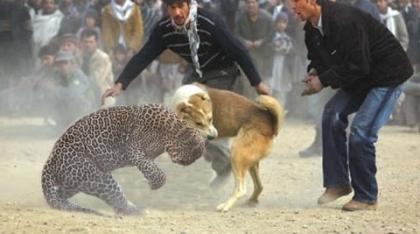 جنگ سگ با شیر ، خرس و یوزپلنگ