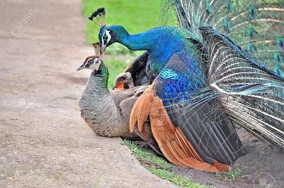 جفتگیری-طاووس-ها