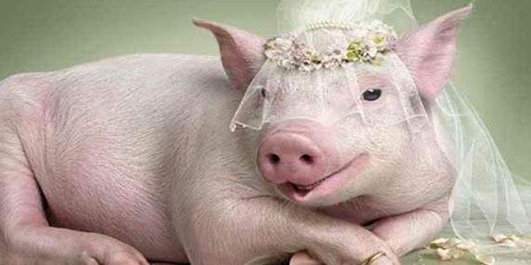 مضرات و علت حرام بودن گوشت خوک در قرآن