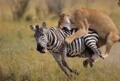 دیدنی ترین صحنه های شکار حیوانات وحشی