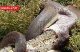 شکار بی رحمانه توسط مار پیتون