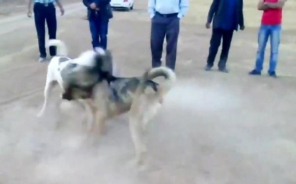 جنگ وحشیانه سگ سرابی و سگ عراقی