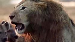 لحظه های حمله کفتار به شیر2018جدید