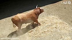 گاوهای وحشی