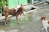 مبارزه سگ نر با سگ ماده برای جفت گیری - آپارات