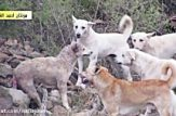 حمله سگ ها به گرگ