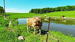 گاو مادر برای نجات گوساله اش Mama's cow to save her calf
