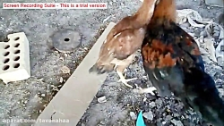 جنگ وحشیانه خروس لاری با خروس محلی Brutal War Larry Cock With Local Cock