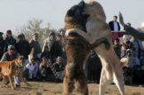 جنگ سگ ها در افغانستان جنگ سگ ها تو افغانستان