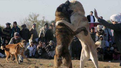 جنگ سگ ها در افغانستان