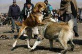 جنگ سگ های کوچی در افغانستان