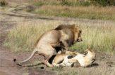 حیوانات باردار و حامله,زایمان و تولید مثل حیوان