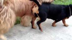 ,تصاویر جفتگیری سگها,