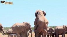 جفت گیری فیل ها