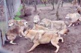 جنگ حیوانات وحشی جنگ سگ جنگ گرگ سگ گرگی
