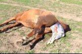 زایمان اسب