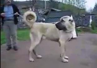 سگ جنگی کانگال کوردی با سگ جنگی سرابی
