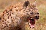 حمله کفتارها به کرگدن در حیات وحش