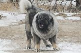 جنگ حیوانات جنگ سگ سگ قفقازی گرگ