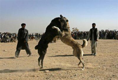 جنگ حیوانات جنگ سگ سگ