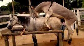 جفتگیری خر با اسب