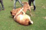 جنگ سگ ها در رشت