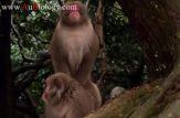 جفت گيري میمون