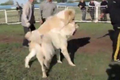 جنگ سگ ها در گرگان