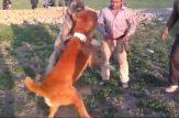 کلیپ جنگ زیباترین سگ های تایبادی